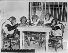 Chimps working on jigsaw puzzle