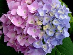 Aside from the traditional powder blue, Hydrangea bushes can range from light pink to deep purple.