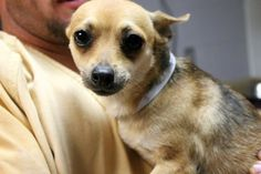 Destiny: Beautiful Chi girl is out of time at high-kill upstate shelter RESCUED