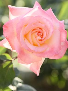 ~Hybrid Tea Rose: Rosa 'Diana, Princess of Wales' (U.S., 1998)