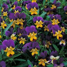 Viola tricolor - flowers continuously from summer to winter; edible; sun/semi shade