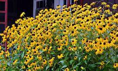 Black-Eyed-Susan-flower.jpg (900×545)