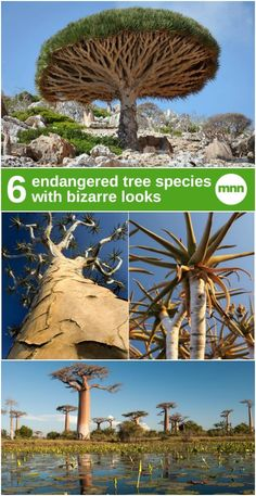 From baobabs to monkey puzzles, things aren't looking too good for these eccentric, endangered tree species.