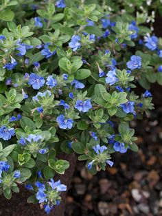 Blue My Mind Evolvulus never stops blooming, even in over 100 degree temps and into October frost. Use as a trailer in planters or window boxes.