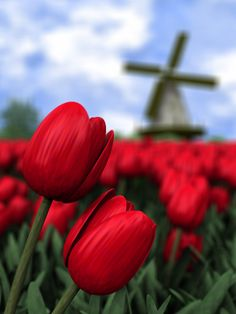 Tulips: The flower of Holland Holland is famous by flowers in the world !