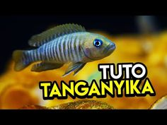 Lac Tanganyika, Aquarium, Terrarium, Pets, Goldfish Bowl, Terrariums, Aquarium Fish Tank, Aquarius, Animals And Pets