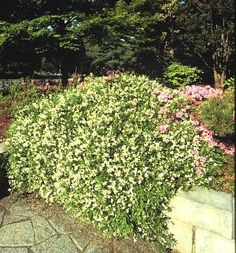 Deutzia gracilis 'Nikko' - Dwarf slender deutzia:  This shrub grows wide and short, so it can be used as a groundcover. Clusters of white flowers appear in spring or early summer.