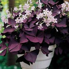 Oxalis Triangularis (Burgundy Shamrock)