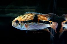 The body shape is what makes me love this South American cich. The body shape is what makes me love this South American cichlid. Tropical Aquarium, Tropical Fish, South American Cichlids, Freshwater Aquarium Fish, Aquarium Design, Paludarium, Beautiful Fish, Fish Tank, Body Shapes