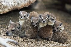 The rock hyrax is a small, tailless mammal which superficially may resemble a guinea pig, but is actually more closely related to elephants and manatees. The rock hyrax is typically active during the day, although it may occasionally be active and heard calling on moonlit nights.
