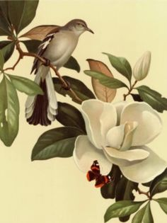 Roger Tory Peterson Mockingbird And Magnolia Open Edition