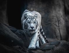 White Tiger Hunting - Animals photo
