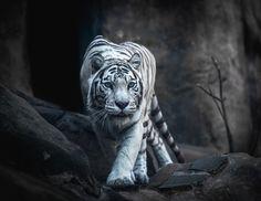 White Tiger Hunting - Animals photo