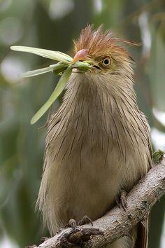 Guira Cuckoo by Arlei Bertani