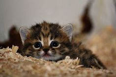 Black-footed Cats are the smallest of the African cats. Photo credits: Cleveland Metroparks Zoo