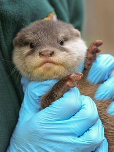 This baby otter pup has such a serious expression.