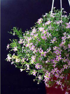 Gypsophila seeds Hanging Baby's Breath Pink Flower by Greenworld1