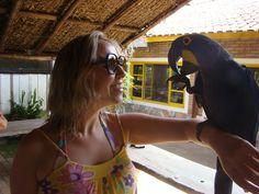 Blue Arara - Endangered brazilian bird