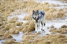 Grey Wolf | by W.Mike.Mahoney