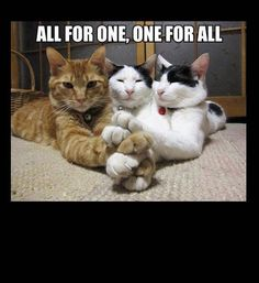 funny photos, three musketeers cats