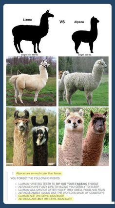 Llama vs. Alpaca - people don't realize how true this is.