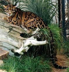 The clouded leopard (Neofelis nebulosa) Clouded Leopard, Leopard Cat, Big Cats, Cool Cats, Cats And Kittens, Serval, Caracal Cat, Rare Animals, Animals And Pets