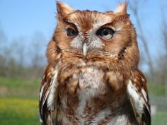 Red Phase Eastern Screech Owl Photo Greeting Card