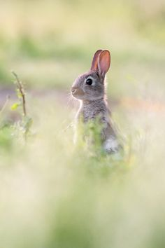 EUROPEAN RABBITS.......also called common rabbit....found throughout Europe and in north west Africa....a body length of 13.5 - 20 inches), a tail of 1.6 - 3.25 inches and a weight 2.25 - 5.5 lbs....live on heathland, grassland, woodland, open meadows and the edges of agricultural land.....the ancestor of all domestic rabbits.