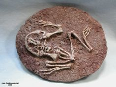 Fossil Frog - Callobatrachus sanyanensis - early Cretaceous Period - 145 million to 65.5 million years ago
