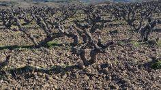 Viñedo Rioja Alavesa. Villabuena de Álava