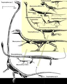 Figure Tanystropheus and kin going back to Huehuecuetzpalli. Two scales here, one yellow, one white. Reptiles, Prehistoric World, Prehistoric Creatures, Skeleton Drawings, Dinosaur Drawing, Dinosaur Skeleton, Extinct Animals, Vertebrates, Creature Design