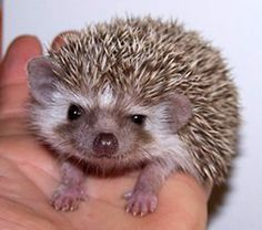 What Is Your Animal Soulmate? I got a hedgehog!!