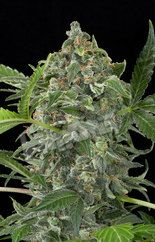 Superb quality medical marijuana for your stress relief, chronic pain, and 95% cancer cure.  order at : www.realweedshop.com