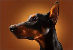 I just don't see how Dobie's are so scary..?  I think they are beautiful and regal and something I need in my life