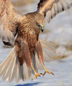 Falcon- beautiful bird!!!