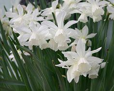 Division 5, Narcissus triandrus ' Thalia' 2-3 flowers per stem • reflexed perianth • flowers are pendulous...