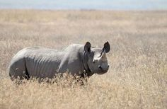 Zimbabwe Rhino Poaching Drops In 2013, 750 Animals Remain