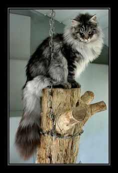 Silver Tabby Maine Coon on a log with chain to ceiling. Chat Maine Coon, Maine Coon Kittens, Pretty Cats, Beautiful Cats, Kittens Cutest, Cats And Kittens, Ragdoll Kittens, Funny Kittens, Bengal Cats