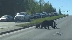 It's not clear why this mama bear and her cubs decided to cross the road, but it sure is cute.