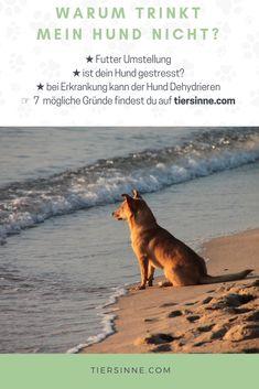 Hund trinkt nicht ▷7 Gründe und was du dagegen tun kann | tiersinne.com Hunde können einige Wochen ohne Nahrung überleben. Steht deinem Hund aber kein Wasser zur Verfügung, kann das innerhalb weniger Tage seinen Tod bedeuten. Du machst dir Sorgen, das dein Hund zu wenig trinkt?Hier kannst du mehr über die Gründe erfahren, warum dein Hund wenig trinkt und wie du sein Trinkverhalten verändern kannst. Weimaraner, Rottweiler, Pitbull, Dog Love, Animals, Cat, Blog, Dog Accessories, Vet Office