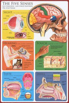 The Five Senses Anatomy of the Body Eduation Poster 24x36 – BananaRoad