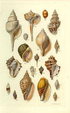 Vintage shells illustration