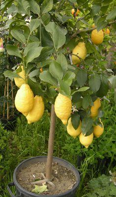 Backyard Plants, Garden Landscaping, Container Gardening Vegetables, Vegetable Garden, Lemon Tree From Seed, Growing Sweet Potatoes, Garden Planner, Outdoor Garden Decor, Plantar