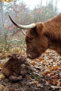 Newborn highland calf