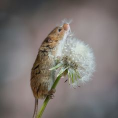 Photo by Martin Snelson of a little harvest mouse making a wish on a dandelion.