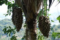 Coyules o Coquitos 05 En El Salvador le llamamos Coyoles. Se le quita la cascara y se come la pulpa, se quiebra el hueso y adentro esta el coco o coquito, porqe tiene sabor a coco. Se cocina con atado de dulce o azucar de cana. Queda en almibar son ricos