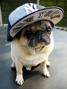 i didnt choose the pug life. the pug life chose me. lol im sorry. did i say that correctly?