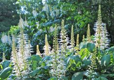 Aesculus parviflora blooms in July