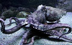 Scientists have unravelled how octopuses avoid their suckers sticking to their own bodies