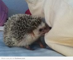 hedge hog Is it bad that I've already named him Winchester